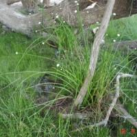 Eriocaulon giganteum, Edgbaston Reserve - Bush Heritage Australia