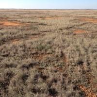 Chenopod Grassland - Bael Bael NCR