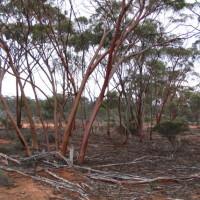 Gimlet Gum, Charles Darwin Reserve - Bush Heritage Australia