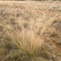 Sporobolus pamelae, Edgbaston Reserve - Bush Heritage Australia